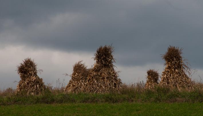 Corn Bundles - Wisconsin Farm Field